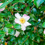 wild rose flower on a bush