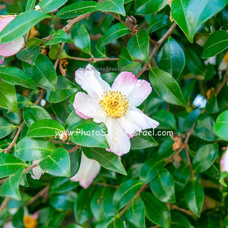 wild rose flower on a bush