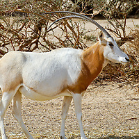 Fauna - Gazelle and Antelope