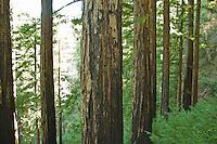 Redwoods line Pine Ridge Trail, Big Sur, California.
