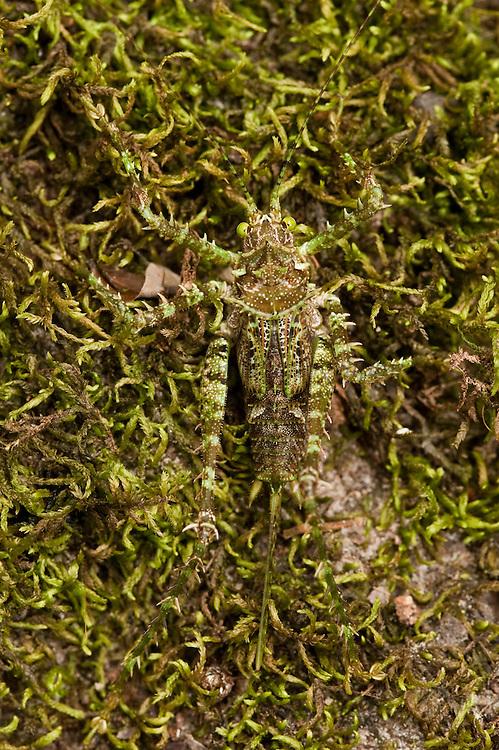 Moss-mimic Katydid<br /> (Tettigoniidae)<br /> Rewa River<br /> Rainforest<br /> GUYANA. South America<br /> Lives in tree hole