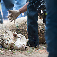 Workers dust hay off sheep at the Window Rock fairgrounds Wednesday before the Miss Navajo pageant sheep butchering contest.