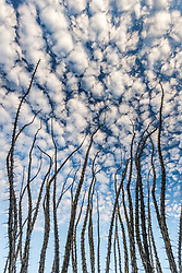 Ocotillo (Fonquieria splendens) against blue sky and clouds, Big Bend National Park, Texas