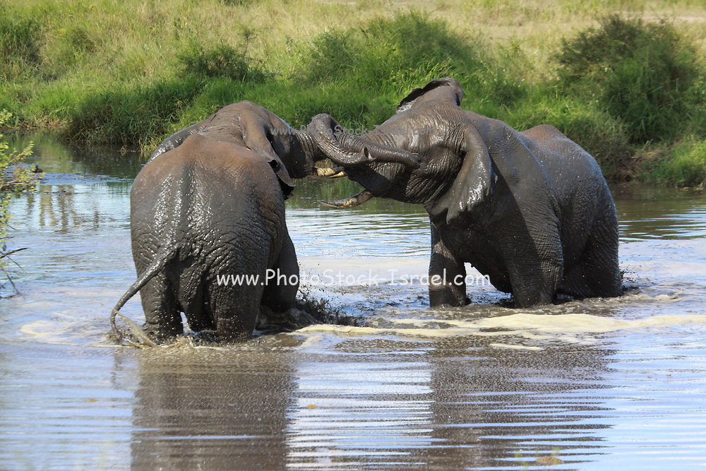A herd of African Bush Elephant (Loxodonta africana) Males fighting for control. Photographed at Serengeti National Park, Tanzania
