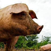 Heritage Acres Pigs