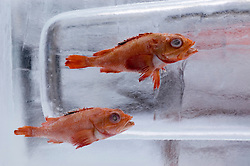 Two small fish frozen in block of ice at annual Sapporo Ice Sculpture festival in Hokkaido Japan