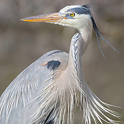 Great blue heron, Ardea herodias, in breeding plumage enjoys afternoon sunshine and breezes at Little Estero Critical Wildlife Area, Fort Myers Beach, FL. Semifinalist, Denver Audubon Share the View 2016 competition. Photo of the Day and Editor's Pick on Smithsonian.com, 03.31.17. Finalist, 2018 Festival de l'Oiseau et de la Nature international wild bird photo competition.