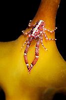 Squat lobster, Galathea intermedia, very small, on a kelp leaf, More coastline, Norway