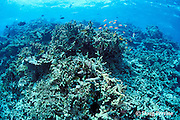 dead coral reef, killed by high water temperatures of 1998 El Niño, North Male Atoll, Maldives, ( Indian Ocean )