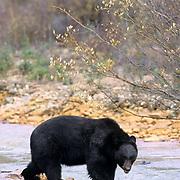 Black Bear, (Ursus americanus) Adult at river in southern Colorado. Fall. Captive Animal.