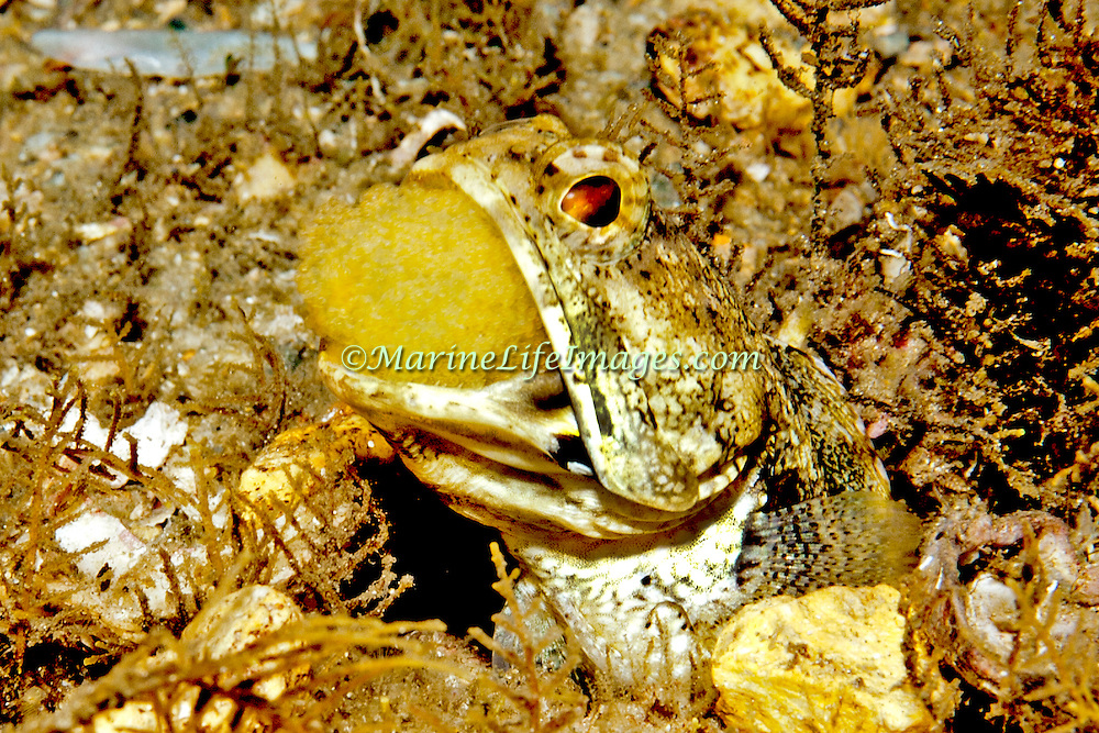 Banded Jawfish inhabit shallow areas of sand, coral rubble and rocks, live in burrow usually extend head, in Tropical West Atlantic, males incubate egg in their mouth; picture taken Blue Heron Bridge, Palm Beach, FL.