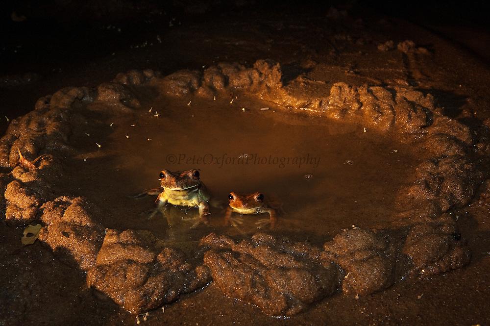 Gladiator Tree Frogs in Mud Nest (Hypsiboas (Hyla) boans)<br /> Rainforest<br /> Rewa River<br /> GUYANA. South America<br /> RANGE: Bolivia, Brazil, Colombia, Ecuador, French Guiana, Guyana, Panama, Peru, Suriname, Trinidad and Tobago, and Venezuela.