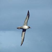 Light Mantled Sooty Albatross
