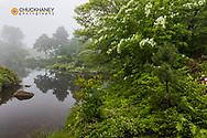 Flowering dogwood at foggy pond at Asticou Azalaea Grdens in Northeast Harbor, Maine, USA
