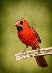 Mr. Redbird Seems To Have Seen Better Days