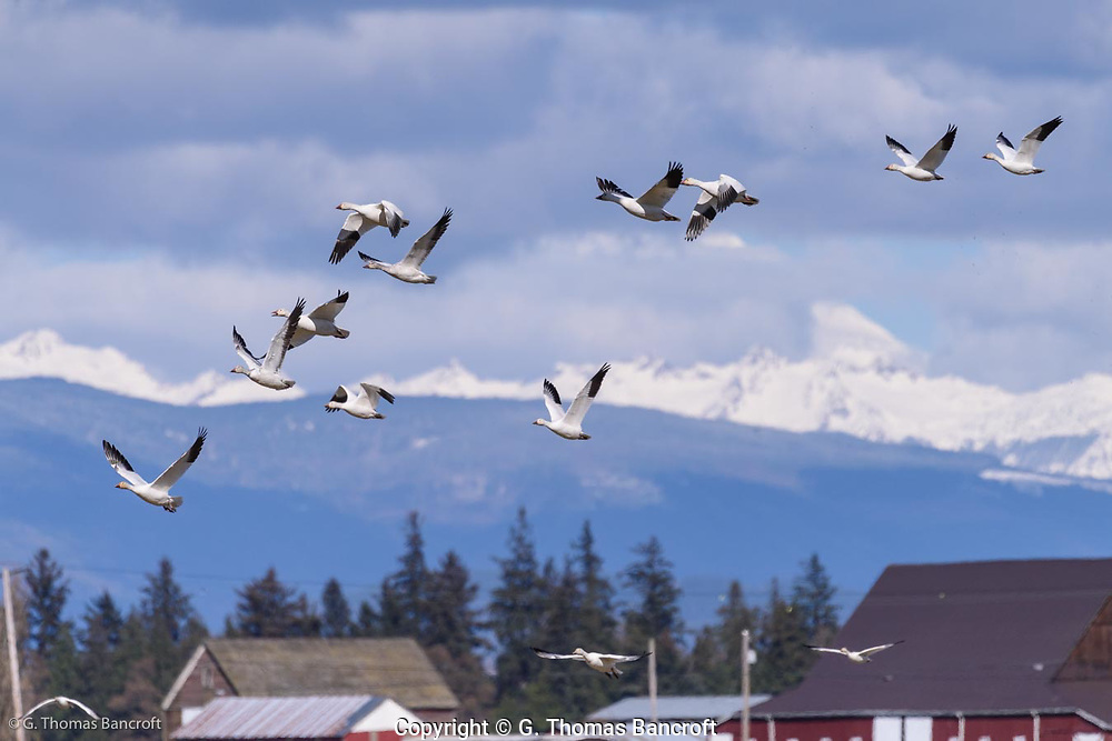 A small flock of snow geese fly in front of Mt. Baker as they take off from a feeding group in the Hayton Reserve in Skagit County.