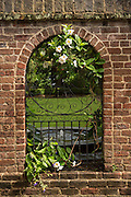 Mandevilla vine grows on a iron gate in Charleston, SC.