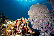 giant hermit crab, <br /> Petrochirus diogenes,<br /> Bahamas ( Western Atlantic Ocean )