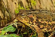 A portrait of a western toad attempting ot hide along a tree trunk.