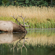 bull elk in lake drinking water with reflection
