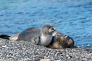 Hawaiian monk seal, Neomonachus schauinslandi, formerly Neomonachus schauinslandi ( Critically Endangered, endemic species ), 8-9 year old female ( RI25 ), and 6 week old pup ( RN02 or Kamilo ) resting on beach, Kaiole Bay, near Kamilo Point, Ka'u, Hawaii ( the Big Island ); this shoreline is known locally as Trash Beach because marine debris continually washes ashore here - note the bits of colored plastic and glass mixed with the beach sand and gravel