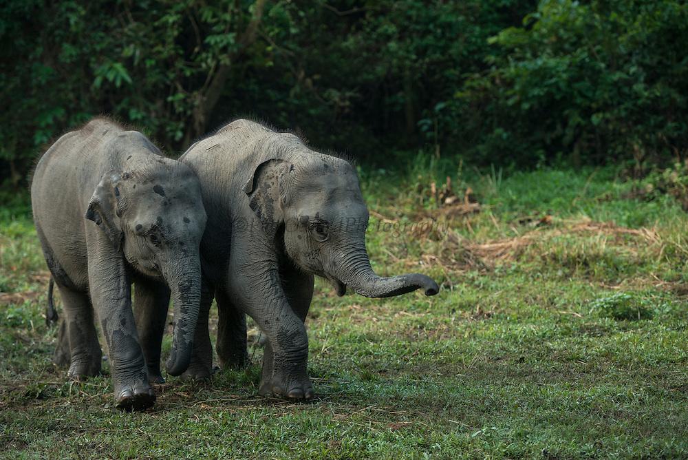 Asian elephant (Elephas maximus) domestic<br /> Kaziranga National Park<br /> Assam<br /> North East India<br /> UNESCO World Heritage Site<br /> ENDANGERED