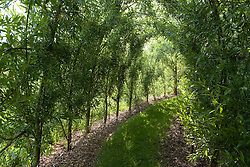 Living willow tunnel