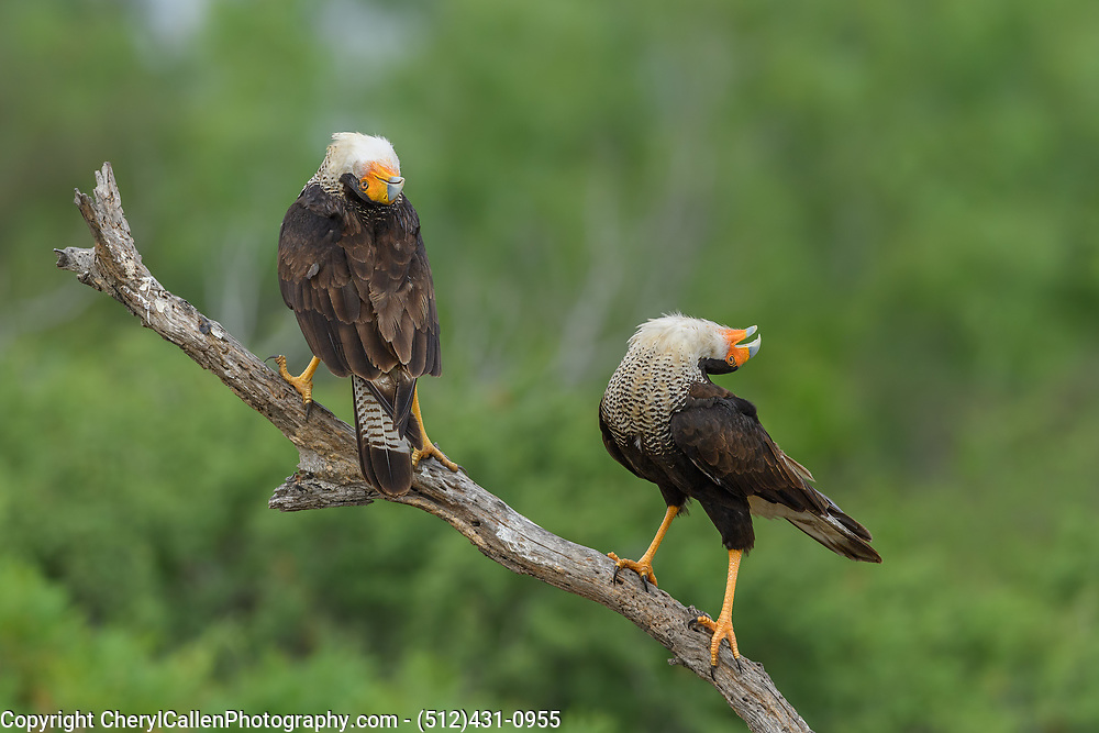 Crested Caracara vocalizing and displaying to show others their territory