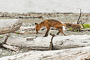 A red fox adult stands on a driftwood log along the beach at the McNeil River State Game Sanctuary on the Kenai Peninsula, Alaska. The remote site is accessed only with a special permit and is the world's largest seasonal population of brown bears in their natural environment.