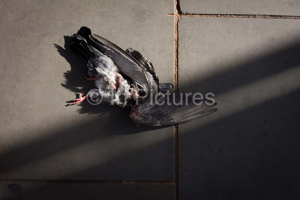 A mangled, headless, pigeon lies on the pavement on London's Piccadily in the capital. The gory corpse of the bird that has somehow been torn apart lies on the street for pedestrians to avoid as they pass-by near Bond Street. Its wing is splayed out in the shadows and a single foot sticks out in sunlight, the end of an existence on London's buildings, looking for scraps and crumbs.