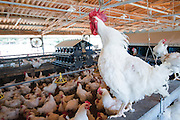 Poultry breeding farm. Rooster crowing in a coop. Photographed in Israel