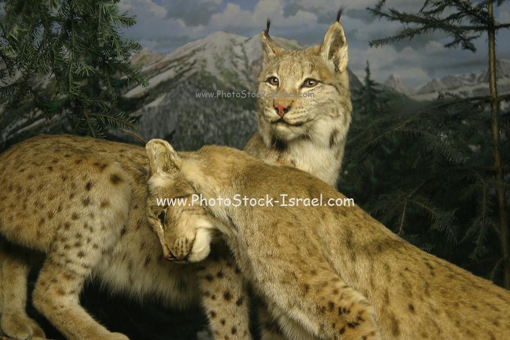 Italy, Milan, stuffed animals (Cheetah) on display at the Natural History musem