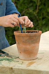 Taking dianthus cuttings - putting around edge of pot