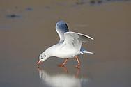 Black-headed Gull - Larus ridibundus