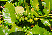 Green coffee cherries on the vine at the Kauai Coffee Company, Island of Kauai, Hawaii