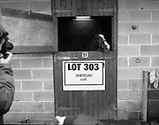 """Shergar Foal Sale.1983.20.11.1983.11.20.1983.20th November 1983..An,as yet,un-named foal sired by the famous Shergar was on public view for the first time today. The viewing was prior to the auction to be held at Goffs Sales,Kildare..Image of """"Lot 303"""" as he poses for the cameramen..Note; On the 8th February 1983,""""Shergar"""",was kidnapped from the Ballymany Stud,Curragh, Co,Kildare. the IRA were the alleged kidnappers. Shergar had been syndicated for £10million by the Aga Khan,his owner. Shergar had won the Epsom Derby by a record 10 lengths. The purported ransom was £2million. Despite a large investigation the horse had dissappeared and no trace of him was ever found. The story has been the subject of much controversy and has be much covered in books and film"""