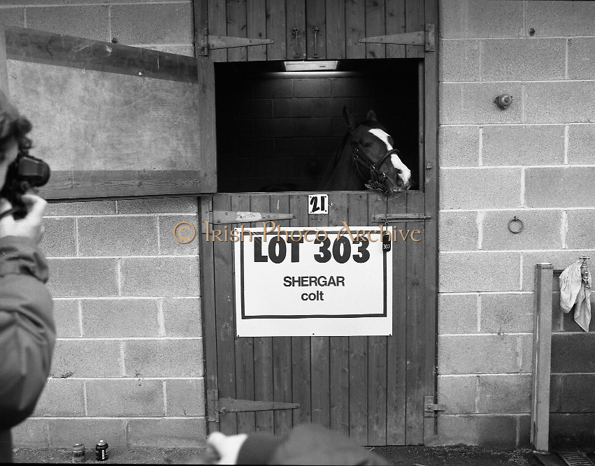 "Shergar Foal Sale.1983.20.11.1983.11.20.1983.20th November 1983..An,as yet,un-named foal sired by the famous Shergar was on public view for the first time today. The viewing was prior to the auction to be held at Goffs Sales,Kildare..Image of ""Lot 303"" as he poses for the cameramen..Note; On the 8th February 1983,""Shergar"",was kidnapped from the Ballymany Stud,Curragh, Co,Kildare. the IRA were the alleged kidnappers. Shergar had been syndicated for £10million by the Aga Khan,his owner. Shergar had won the Epsom Derby by a record 10 lengths. The purported ransom was £2million. Despite a large investigation the horse had dissappeared and no trace of him was ever found. The story has been the subject of much controversy and has be much covered in books and film"