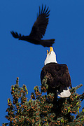 A bald eagle (Haliaeetus leucocephalus) issues a warning to a common raven (Corvus corax) that approached too close in Heritage Park in Kirkland, Washington. The raven and two others repeatedly plunged at the eagle, eventually forcing it to fly from its perch.