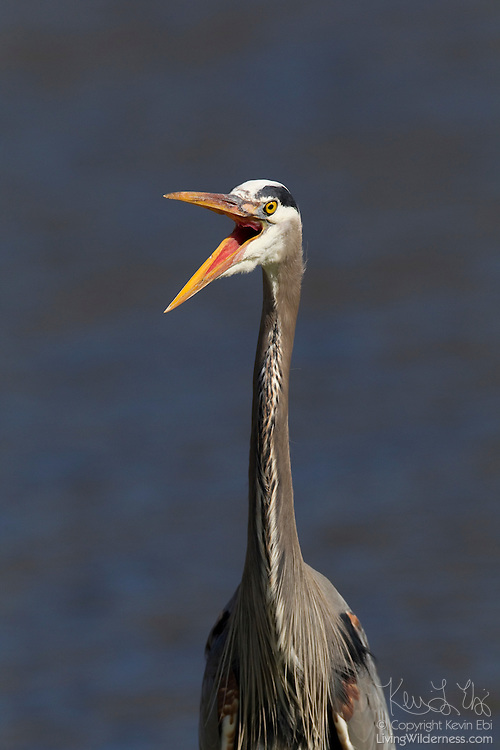 A great blue heron (Ardea herodias) stands with its mouth wide open in the Ridgefield National Wildlife Refuge in Washington state.