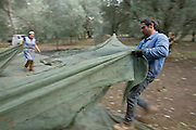 Olive Gathering by Cooperativa Valle del Marro - Calabria