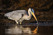 Grey Heron in evening sun, with a fish in it's beek | Gråhegre i kveldssol med en fisk i nebbet sitt