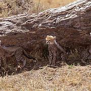 Cheetah, (Acinonyx jubatus) Cubs resting in shade. Masai Mara Game Reserve. Kenya.  Africa.