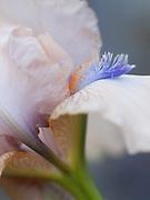 Iris 'Constantina' - tall bearded iris
