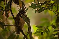 Spectacled Owl (Pulsatrix perspicillata) at the Tiputini Biodiversity Station, Orellana Province, Ecuador