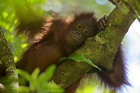 Young adult female Bornean Orangutan (Pongo pygmaeus)<br /><br />(Walima aka Martina)