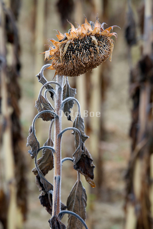 ripening sunflower in the field