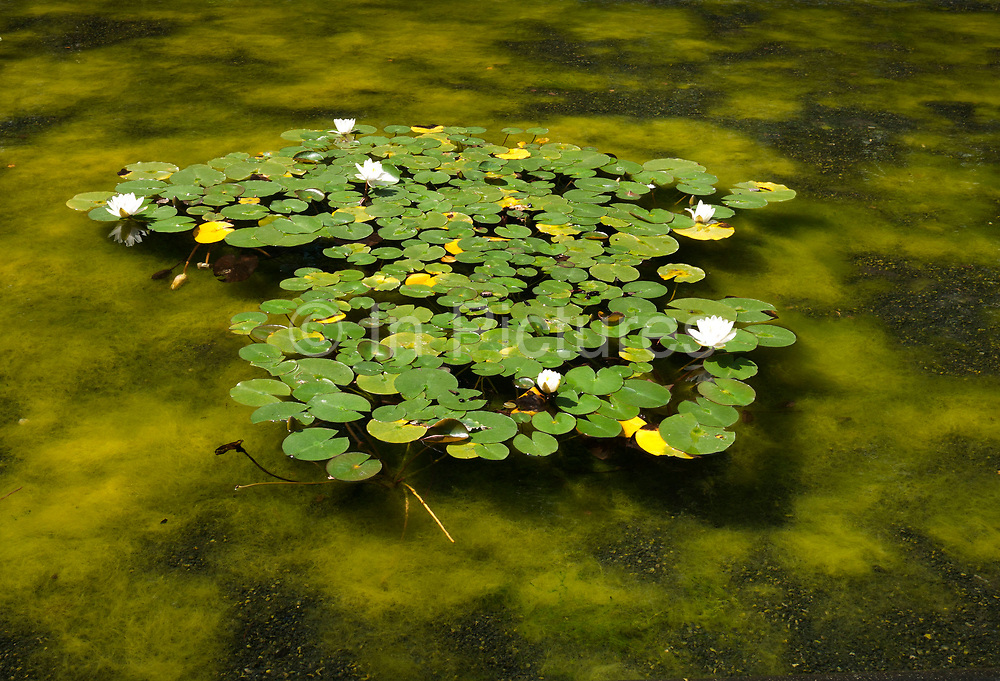 Water lilies in a green pond. Nymphaeaceae is a family of flowering plants. Members of this family are commonly called water lilies and live in freshwater areas in temperate and tropical climates around the world. The family contains eight genera. There are about 70 species of water lilies around the world. Also known as Lotus plant.