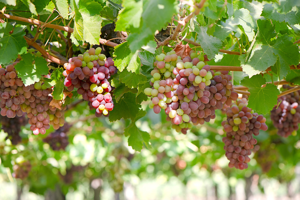 Close-up detail of grapes at a vineyard at Colchagua valley in Chile