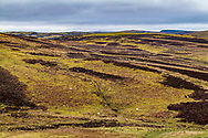 Roberton, Hawick, Scottish Borders, Scotland, UK. 9th March 2021. Sheep graze amongst a patchwork of heather and moss at Blawearie in the Hawick hills.