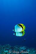 lined butterflyfish, Chaetodon lineolatus, Sipadan Island, Borneo, Malaysia